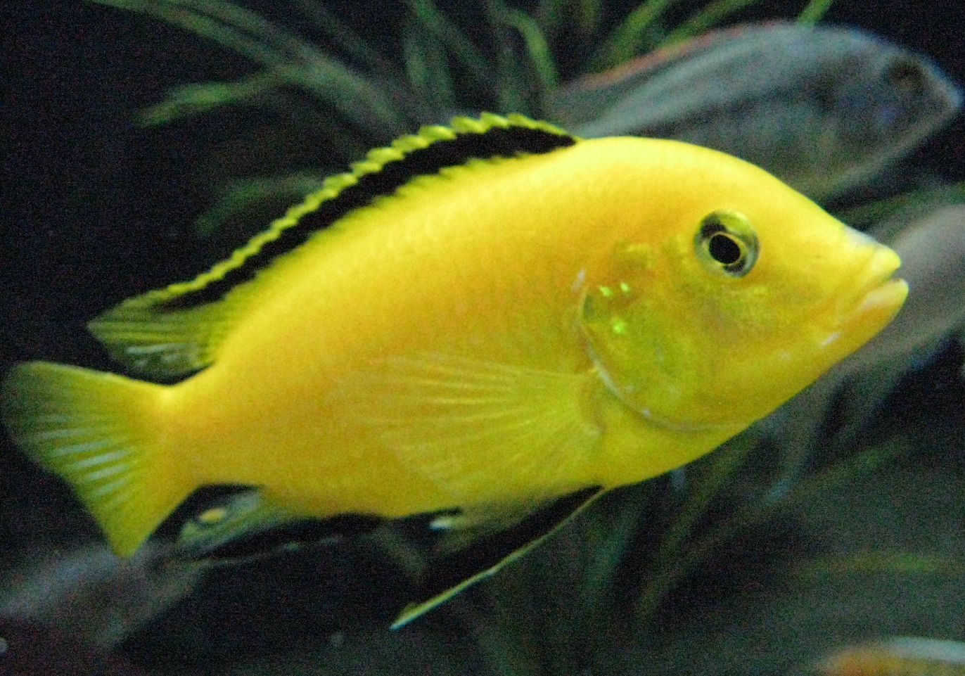 The Basic Things To Know While Keeping Cichlids
