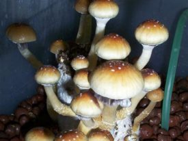 How to Buy Magic Mushroom kit Online with Proper Safety and Security?