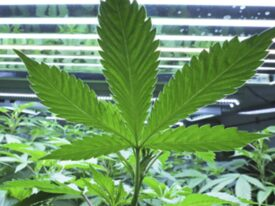 Best Types Of Weed Medical Marijuana And More